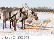 Купить «Reindeers in harness», фото № 24252648, снято 25 февраля 2012 г. (c) Владимир Мельников / Фотобанк Лори