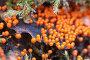 Миксомицет Трихия обманчивая (Trichia decipiens), фото № 24253480, снято 27 августа 2016 г. (c) Александр Курлович / Фотобанк Лори