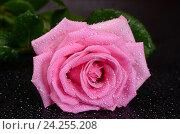 Розовая роза на черном фоне. Стоковое фото, фотограф Воронина Светлана / Фотобанк Лори