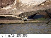 Купить «Две красноухие черепахи на бревне в воде, Коста-Рика», фото № 24256356, снято 31 марта 2010 г. (c) Олег Елагин / Фотобанк Лори