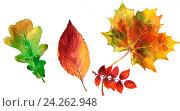 Осенние листья деревьев. Акварель. Стоковое фото, фотограф Елена Лобовикова / Фотобанк Лори