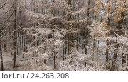 Купить «Полет вдоль желтых заснеженных веток лиственниц в зимнем хвойном лесу, крупный план», видеоролик № 24263208, снято 10 ноября 2016 г. (c) Кекяляйнен Андрей / Фотобанк Лори