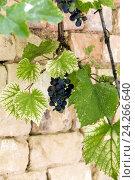 Купить «Гроздья черного винограда», фото № 24266640, снято 7 августа 2015 г. (c) Nikolay Sukhorukov / Фотобанк Лори