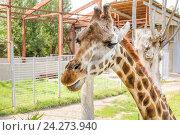 Купить «Жираф Ротшильда (Giraffa camelopardalis rothschildi) жуёт травинку в зоопарке Ростова-на-Дону», фото № 24273940, снято 13 июля 2015 г. (c) Алёшина Оксана / Фотобанк Лори