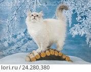 Купить «Сибирский Невский Маскарадный котенок в зимнем лесу на снегу», фото № 24280380, снято 27 октября 2016 г. (c) ElenArt / Фотобанк Лори