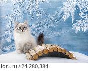 Купить «Сибирский Невский Маскарадный котенок в зимнем лесу на снегу», фото № 24280384, снято 27 октября 2016 г. (c) ElenArt / Фотобанк Лори