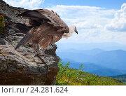 Griffon vulture in wildness area. Стоковое фото, фотограф Яков Филимонов / Фотобанк Лори
