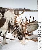 Купить «Оленья упряжка зимой», фото № 24281748, снято 14 марта 2014 г. (c) Владимир Мельников / Фотобанк Лори