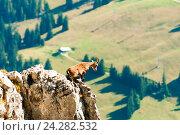 Купить «Дикий горный козел, стоящий на скале в Альпах, Швейцария», фото № 24282532, снято 20 сентября 2014 г. (c) Сергей Лабутин / Фотобанк Лори