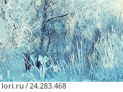 Купить «Winter landscape of frosty winter tree branches in winter forest in cold sunny weather», фото № 24283468, снято 21 марта 2019 г. (c) Зезелина Марина / Фотобанк Лори