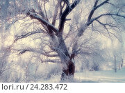 Купить «Winter landscape with old frosty winter tree in the sunlight. Winter landscape with snow covered winter tree», фото № 24283472, снято 22 июля 2019 г. (c) Зезелина Марина / Фотобанк Лори