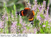 Бабочка Адмирал (лат. Vanessa atalanta) на цветущем вереске. Стоковое фото, фотограф Елена Коромыслова / Фотобанк Лори