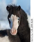 Купить «Портрет жеребенка породы Американская миниатюрная лошадь», фото № 24289828, снято 22 января 2016 г. (c) Абрамова Ксения / Фотобанк Лори