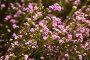 coleonema pulchellum pink flowers, фото № 24296944, снято 1 декабря 2016 г. (c) Яков Филимонов / Фотобанк Лори