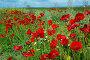 wild poppy flowers, фото № 24296964, снято 12 мая 2016 г. (c) Яков Филимонов / Фотобанк Лори