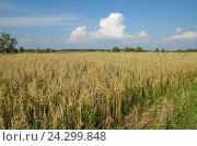 Купить «Летний сельский пейзаж с овсяным полем», эксклюзивное фото № 24299848, снято 11 августа 2016 г. (c) Елена Коромыслова / Фотобанк Лори