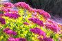 Очиток видный (Sedum spectabile). Цветущий куст, фото № 24301692, снято 8 октября 2015 г. (c) Евгений Мухортов / Фотобанк Лори