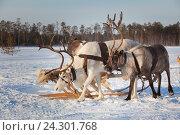 Купить «Northern deer trip», фото № 24301768, снято 25 февраля 2012 г. (c) Владимир Мельников / Фотобанк Лори