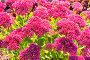 Очиток видный (Sedum spectabile). Осеннее цветение, фото № 24301868, снято 8 октября 2015 г. (c) Евгений Мухортов / Фотобанк Лори