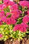 Очиток видный (Sedum spectabile). Цветущий куст на клумбе, фото № 24301916, снято 8 октября 2015 г. (c) Евгений Мухортов / Фотобанк Лори