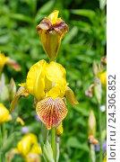 Купить «Желтый бородатый ирис (лат. Iris barbatus)», фото № 24306852, снято 18 июня 2016 г. (c) Елена Коромыслова / Фотобанк Лори
