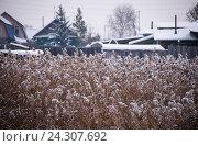 Купить «Заснеженный болотный камыш», фото № 24307692, снято 11 ноября 2016 г. (c) Павел Сапожников / Фотобанк Лори