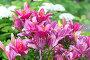 Lots of pink lilies on background of white hydrangeas in garden, фото № 24309028, снято 8 июля 2016 г. (c) Володина Ольга / Фотобанк Лори