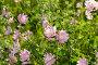 Purple pink meadow mallow flowers (Malva), фото № 24309112, снято 1 июля 2016 г. (c) Володина Ольга / Фотобанк Лори