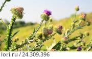 Купить «Thistle thorns (Latin Onopordum acanthium.) - Thistle species of genus of the family Asteraceae plants», видеоролик № 24309396, снято 30 ноября 2016 г. (c) Володина Ольга / Фотобанк Лори