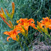 Лилейник рыжий ( лат. Hemerocallis fulva ). Цветы крупным планом, фото № 24309816, снято 14 июля 2016 г. (c) Евгений Мухортов / Фотобанк Лори