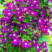 Цветущий Клематис с сиреневыми цветами, фото № 24309824, снято 3 июля 2016 г. (c) Евгений Мухортов / Фотобанк Лори