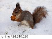 Купить «Рыжая белка на снегу с грецким орехом», фото № 24310280, снято 6 ноября 2016 г. (c) Литвяк Игорь / Фотобанк Лори