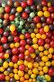 Свежие помидоры, фото № 24310504, снято 18 сентября 2016 г. (c) Афанасьева Ольга / Фотобанк Лори