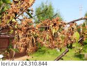 Ветка вишни, пораженная монилиозом (Monilia cinerea) Стоковое фото, фотограф Ирина Горбачева / Фотобанк Лори