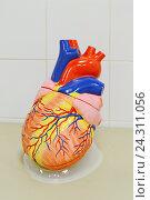 Анатомическая модель сердца. Стоковое фото, фотограф Наталья Уварова / Фотобанк Лори