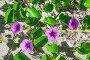Фиолетовые петунии, фото № 24312972, снято 21 сентября 2016 г. (c) Дмитрий Брусков / Фотобанк Лори