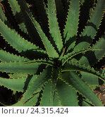 Купить «Aloe, nature, aloe vera, lily plant, indoor plant, succulents, leaf succulents, first help plant, plant the immortality, plant, plants, medicinal plants...», фото № 24315424, снято 30 марта 2004 г. (c) mauritius images / Фотобанк Лори