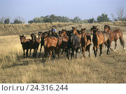 Купить «Italy, Tuscany, Maremma, belt, horses, cowboy, animals, horse's focuses, Wildfpferde, horse, overseer, shepherd, monitor, hold together, float, come floating, lead, pasture, meadow, pasture piece,», фото № 24316244, снято 6 декабря 2006 г. (c) mauritius images / Фотобанк Лори