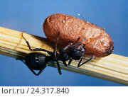 Купить «Ant, Ameisenei, brood care for states forming insects, insect, hymenoptera, Hymenoptera, Formicidae, Emsen, egg, carry, transport, carry, stalk», фото № 24317840, снято 20 августа 2018 г. (c) mauritius images / Фотобанк Лори