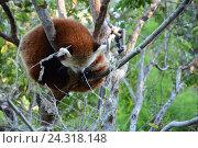 Купить «Красная панда на дереве», фото № 24318148, снято 1 февраля 2013 г. (c) Алексей Кокоулин / Фотобанк Лори