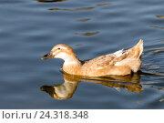Купить «Утка плывущаяя в озере», фото № 24318348, снято 20 ноября 2016 г. (c) Татьяна Ляпи / Фотобанк Лори