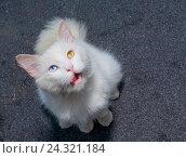 Белый кот с гетерохромией облизывающийся. Стоковое фото, фотограф Сергей Васильев / Фотобанк Лори