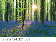 Купить «European beech forest (Fagus sylvatica) and bluebells (Hyacinthoides non-scripta) in the backlight, spring, Hallerbos, Brussels, Vlaams Gewest, Belgium», фото № 24321308, снято 11 апреля 2018 г. (c) mauritius images / Фотобанк Лори