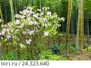 Купить «Blossoming azalea and bamboo, garden of the Tenryuji Temple, branch of the Rinzai Zen Buddhism, UNESCO-world cultural heritage, Arashiyama, Kyoto, Kinki region, Kyoto prefecture, Honshu, Japan», фото № 24323640, снято 16 августа 2018 г. (c) mauritius images / Фотобанк Лори