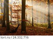 Купить «Sunrays and morning fog, deciduous forest in autumn, Ziegelroda forest, Saxony-Anhalt, Germany», фото № 24332716, снято 17 августа 2018 г. (c) mauritius images / Фотобанк Лори