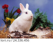 Купить «Rabbit, white, spring flowers, Still life, Easter, animal, hare, hare, hare's animals, breeding rabbits, pygmy rabbits, flowers, bark, Easter bunny, spring», фото № 24336456, снято 17 августа 2000 г. (c) mauritius images / Фотобанк Лори