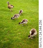 Купить «Great Britain, London, park, ducklings,», фото № 24344256, снято 21 сентября 2018 г. (c) mauritius images / Фотобанк Лори