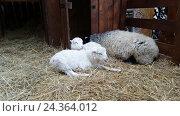 Sheeps in the barn at Christmas fair. Стоковое видео, видеограф Антон Гвоздиков / Фотобанк Лори