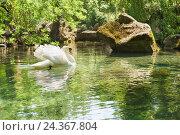Купить «Одинокий белый лебедь (lat. Cygnus) плавает в пруду.», фото № 24367804, снято 6 июня 2016 г. (c) Наталья Гармашева / Фотобанк Лори