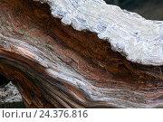 Купить «Centuries old larch», фото № 24376816, снято 23 июня 2018 г. (c) mauritius images / Фотобанк Лори